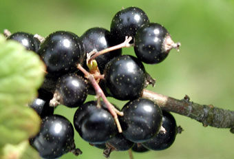 black-currants