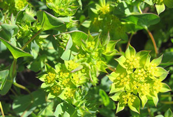bupleurum-flowers