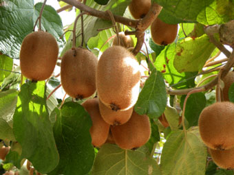 kiwi-fruit-tree