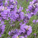 Lavender: The Aroma of Peaceful Sleep