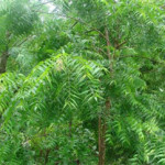 Neem: Tree of the 21st Century