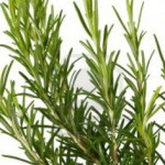 Rosemary: The Memory Booster