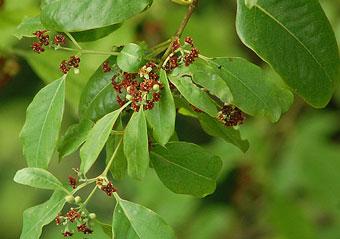 sandalwood-tree