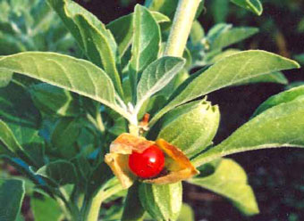ashwagandha-indian-ginseng