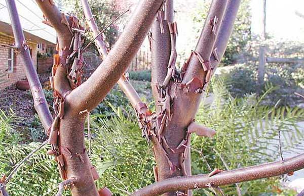cinnamon-tree-bark