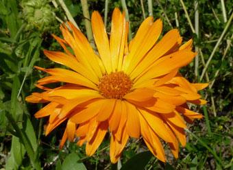 marigold-calendula-officinalis