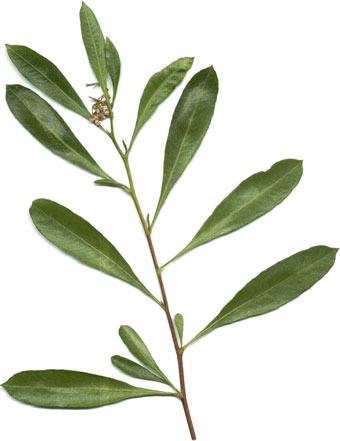 olive-plant